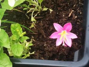 pink flower no 2